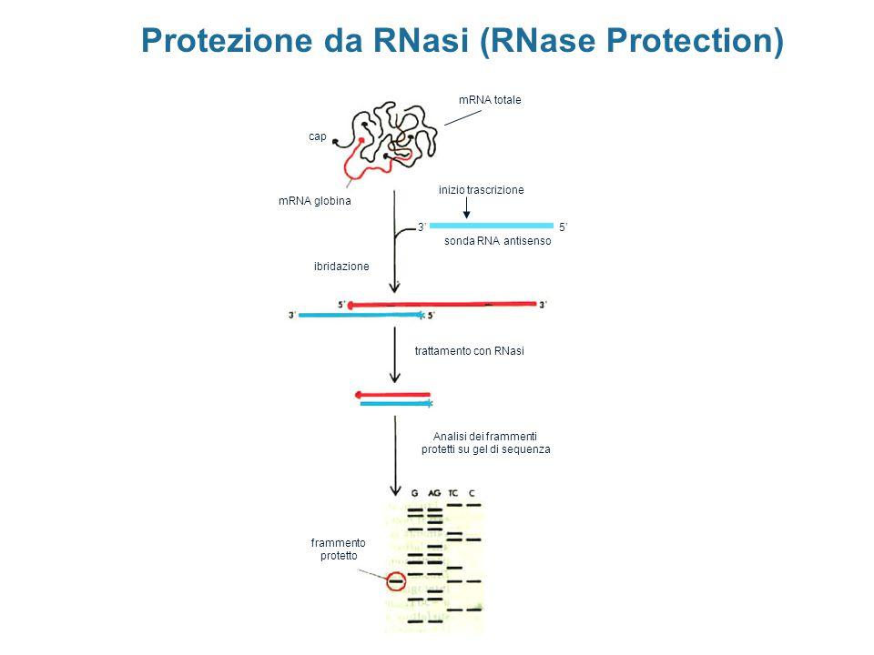 Protezione da RNasi (RNase Protection) mRNA totale sonda RNA antisenso mRNA globina cap 5'3' ibridazione trattamento con RNasi Analisi dei frammenti p