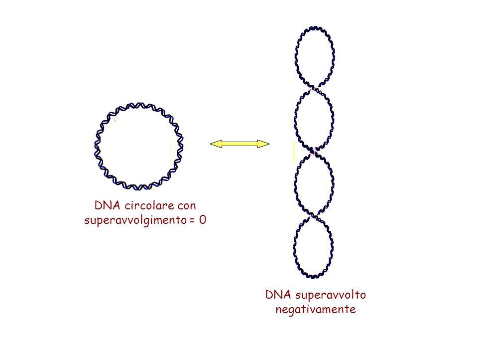 DNA circolare con superavvolgimento = 0 DNA superavvolto negativamente