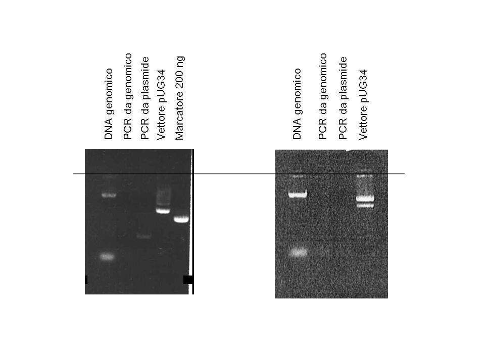 DNA genomicoPCR da genomicoPCR da plasmideVettore pUG34Marcatore 200 ng DNA genomicoPCR da genomicoPCR da plasmideVettore pUG34