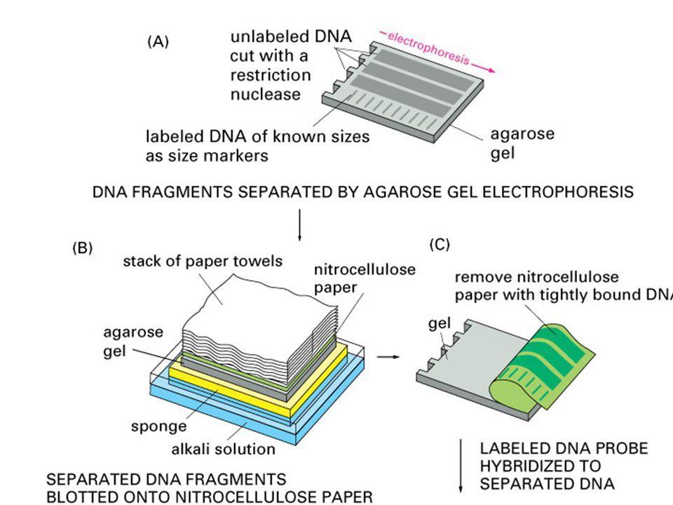 carta 3MM membrana nylon gel supporto } carta 3MM tampone vaschetta Assemblaggio del blot capillare
