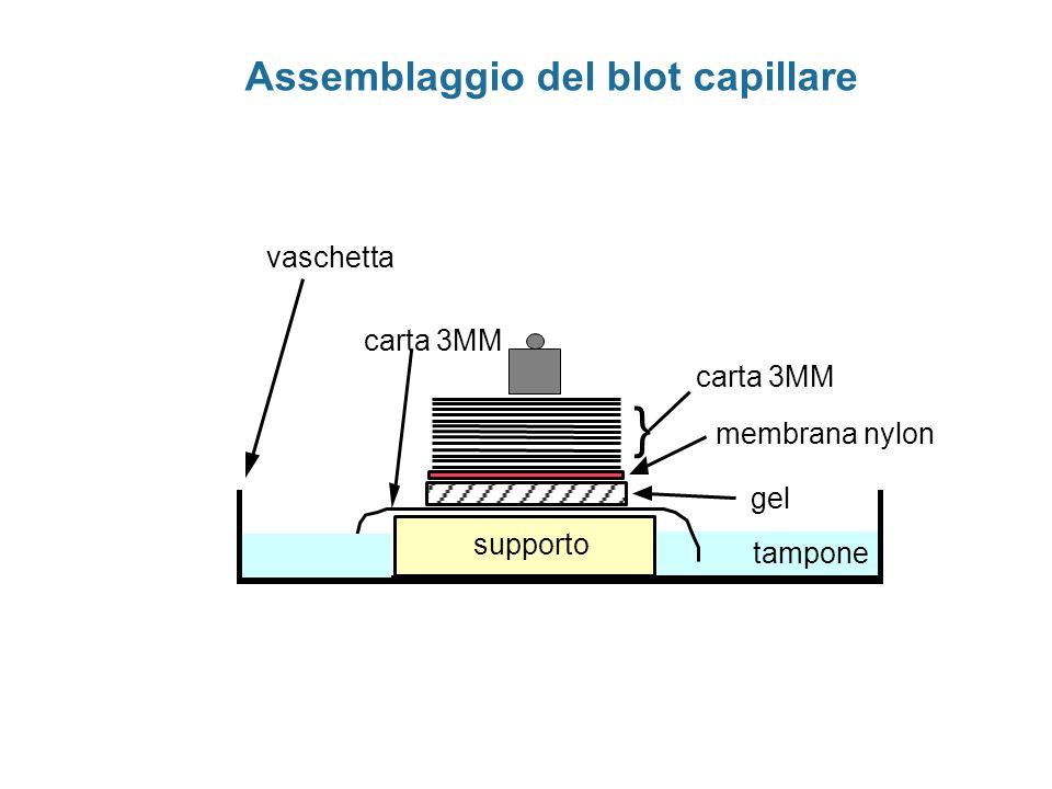 mRNA totale oligo antisenso marcato mRNA globina cap 5'3' ibridazione estensione con RT Analisi dei frammenti estesi su gel di sequenza frammento protetto Estensione del primer