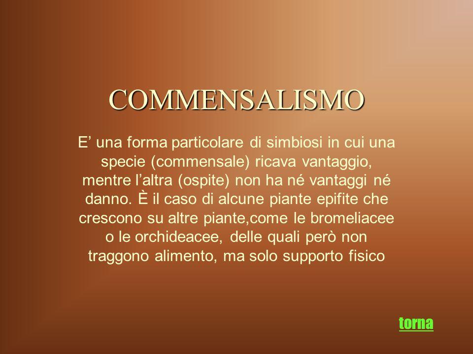COMMENSALISMO E' una forma particolare di simbiosi in cui una specie (commensale) ricava vantaggio, mentre l'altra (ospite) non ha né vantaggi né dann