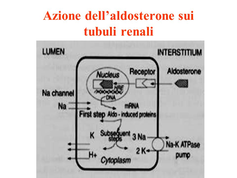 Sintesi dei mineralcorticoidi Zona glomerulosa Stimoli: - ACTH - Angio II