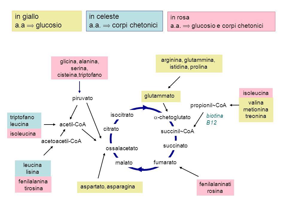 piruvato acetil-CoA acetoacetil-CoA citrato succinil~CoA succinato fumarato malato  -chetoglutato triptofano leucina glicina, alanina, serina, cistei