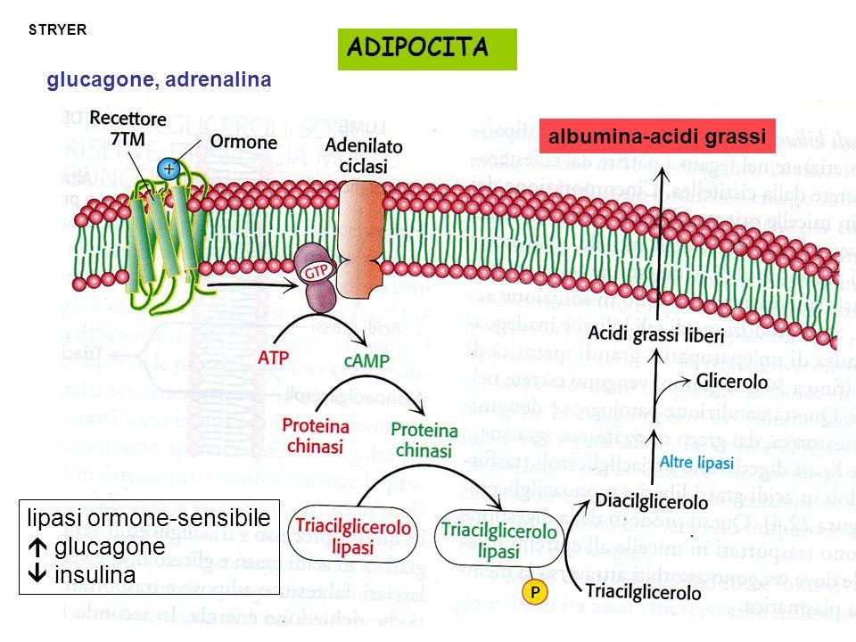 STRYER glucagone, adrenalina ADIPOCITA albumina-acidi grassi lipasi ormone-sensibile  glucagone  insulina