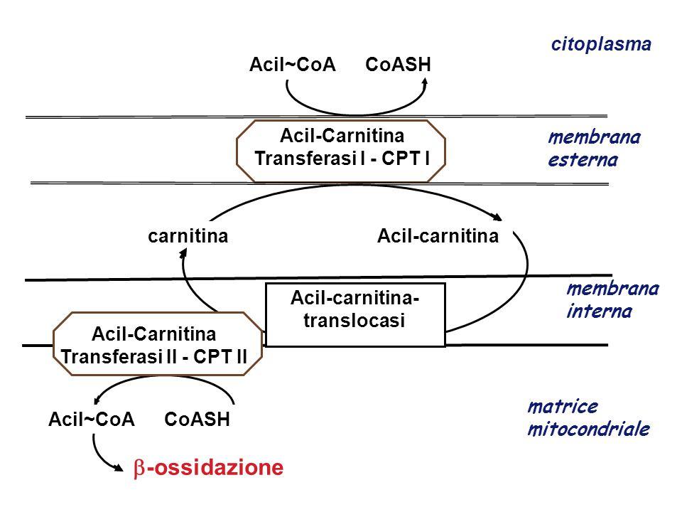 Acil-Carnitina Transferasi I - CPT I membrana esterna membrana interna Acil~CoA CoASH  -ossidazione matrice mitocondriale citoplasma Acil~CoA CoASH c
