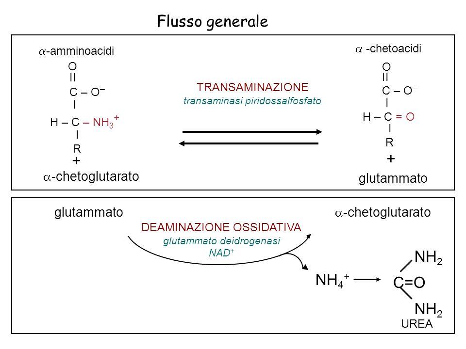 Flusso generale NH 4 + UREA NH 2 C=O NH 2 DEAMINAZIONE OSSIDATIVA glutammato deidrogenasi NAD + glutammato  -chetoglutarato  -amminoacidi O II C – O