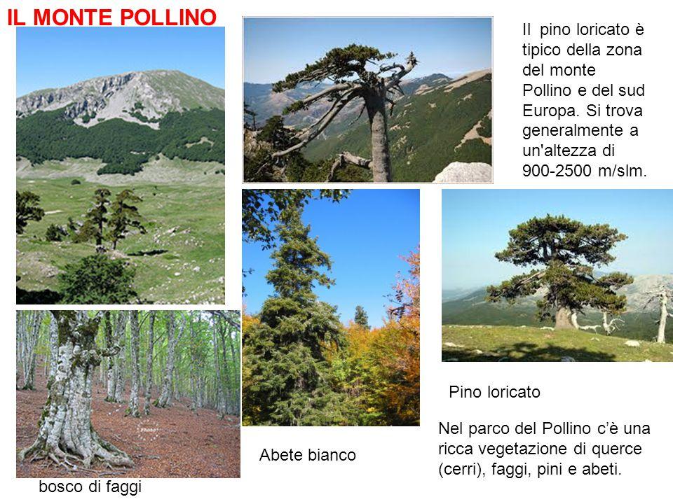 Il pino loricato è tipico della zona del monte Pollino e del sud Europa. Si trova generalmente a un'altezza di 900-2500 m/slm. bosco di faggi IL MONTE