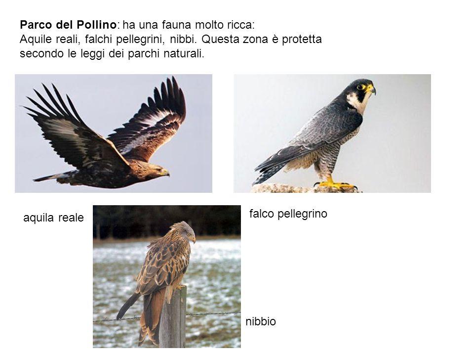 Parco del Pollino: ha una fauna molto ricca: Aquile reali, falchi pellegrini, nibbi. Questa zona è protetta secondo le leggi dei parchi naturali. aqui