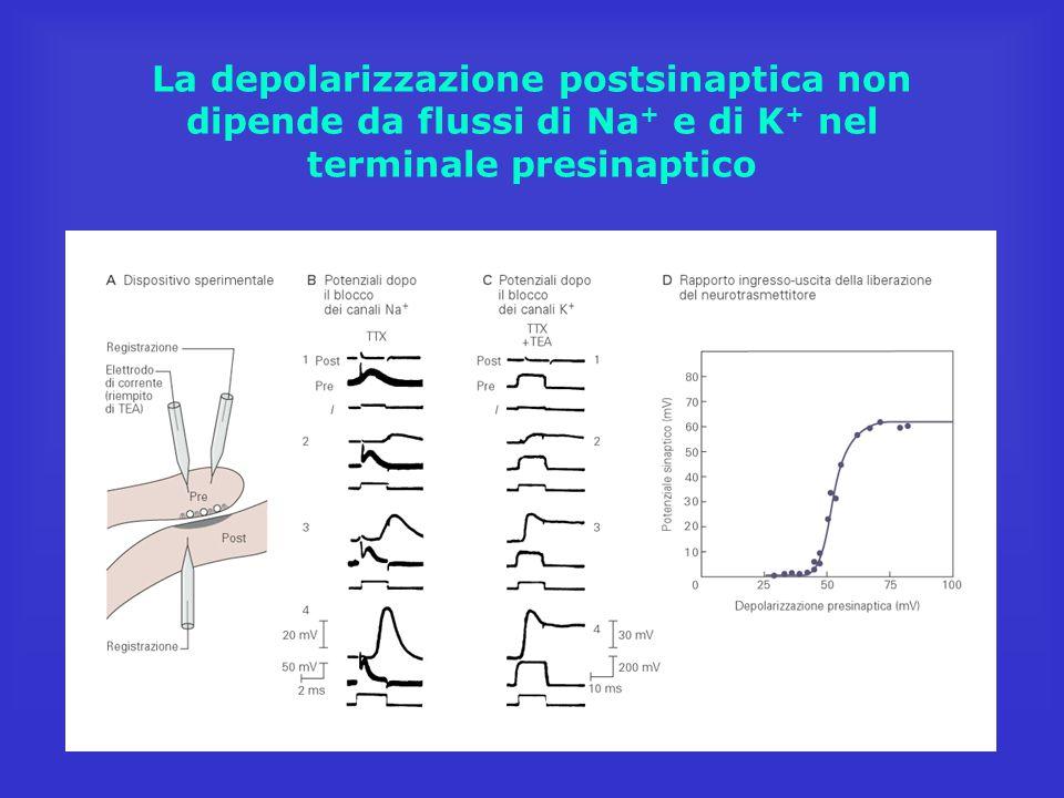 La depolarizzazione postsinaptica non dipende da flussi di Na + e di K + nel terminale presinaptico
