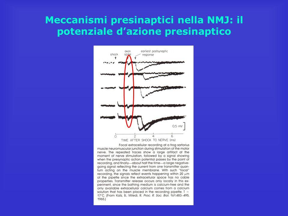 Meccanismi presinaptici nella NMJ: informazioni dai MEPP (miniature end-plate potentials)