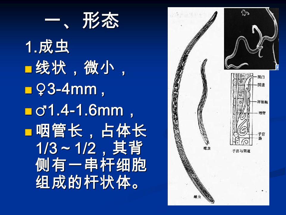 一、形态 1. 成虫 线状,微小, 线状,微小, ♀3-4mm, ♀3-4mm, ♂1.4-1.6mm , ♂1.4-1.6mm , 咽管长,占体长 1/3 ~ 1/2 ,其背 侧有一串杆细胞 组成的杆状体。 咽管长,占体长 1/3 ~ 1/2 ,其背 侧有一串杆细胞 组成的杆状体。