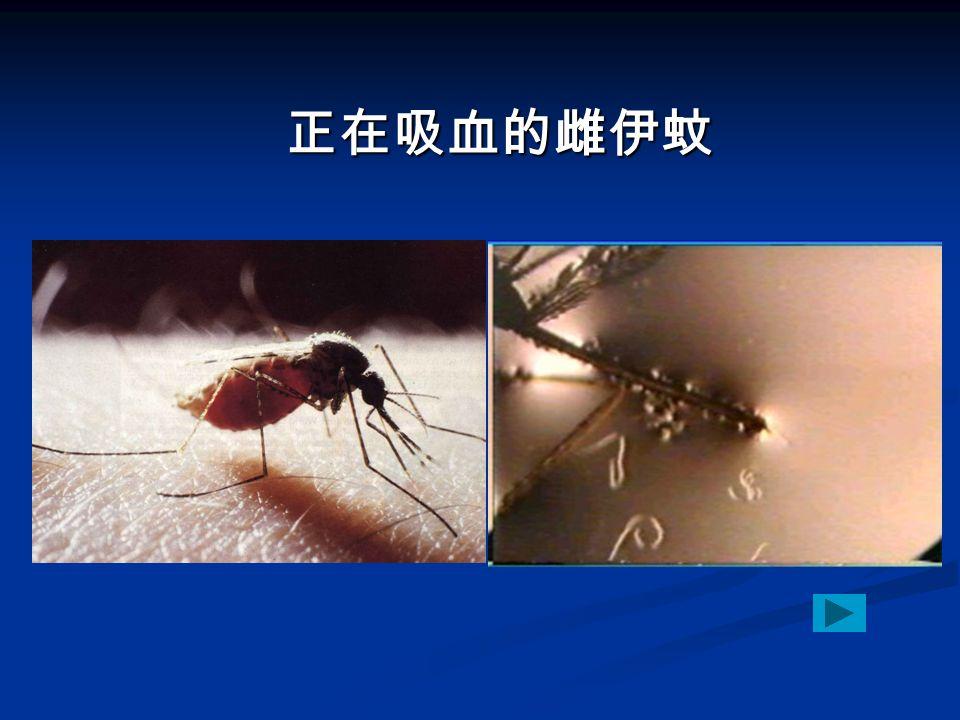 正在吸血的雌伊蚊 正在吸血的雌伊蚊