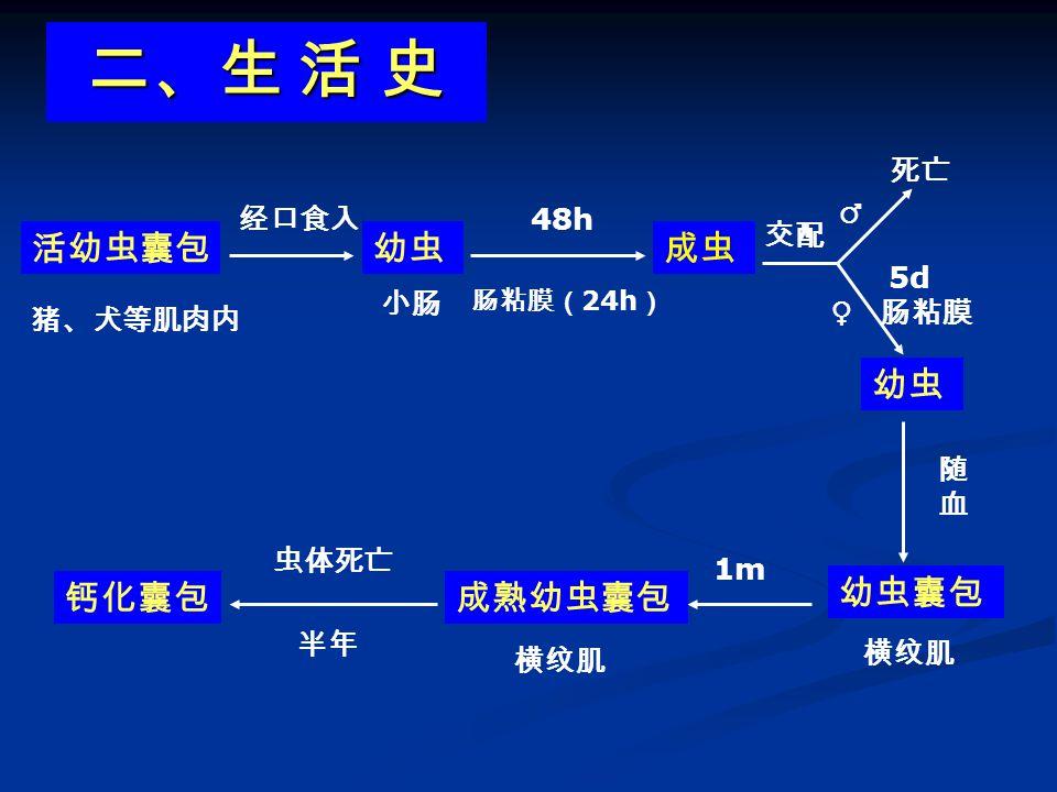 四、实验诊断 1 )首选厚血膜法: 取末梢血 60µl ( 3 大滴)涂成厚片, 干后溶血镜检。 1 .病原诊断 ⑴血检微丝蚴: 取血时间 9PM— 2AM