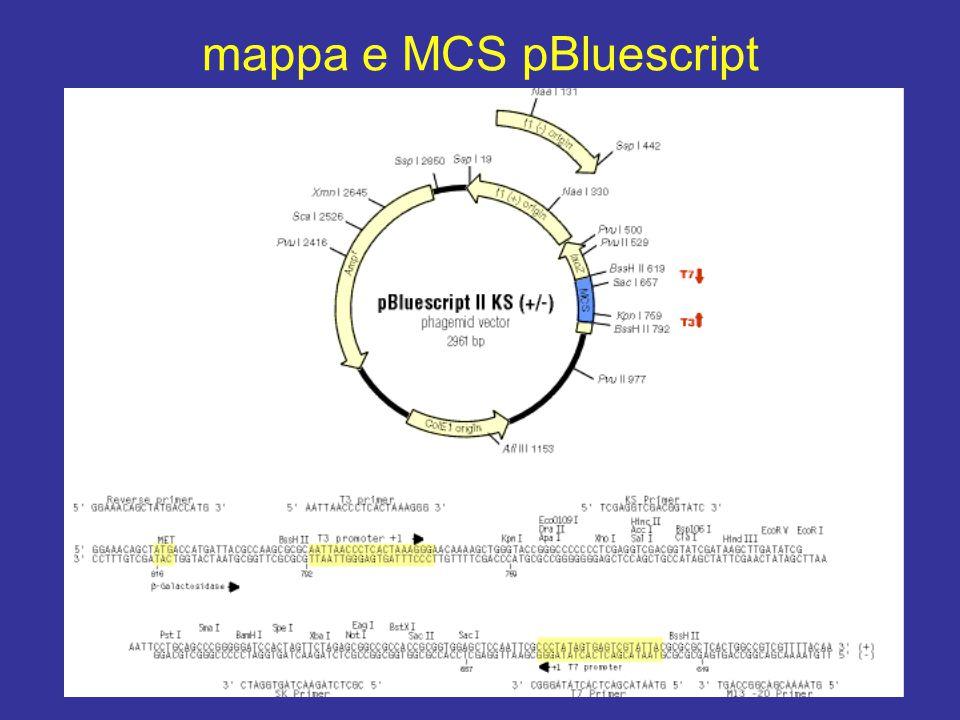 mappa e MCS pBluescript