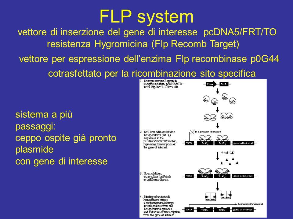 FLP system vettore di inserzione del gene di interesse pcDNA5/FRT/TO resistenza Hygromicina (Flp Recomb Target) vettore per espressione dell'enzima Fl