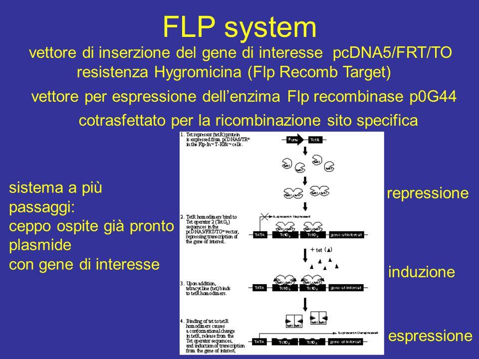 FLP system vettore di inserzione del gene di interesse pcDNA5/FRT/TO resistenza Hygromicina (Flp Recomb Target) vettore per espressione dell'enzima Flp recombinase p0G44 cotrasfettato per la ricombinazione sito specifica sistema a più passaggi: ceppo ospite già pronto plasmide con gene di interesse repressione induzione espressione
