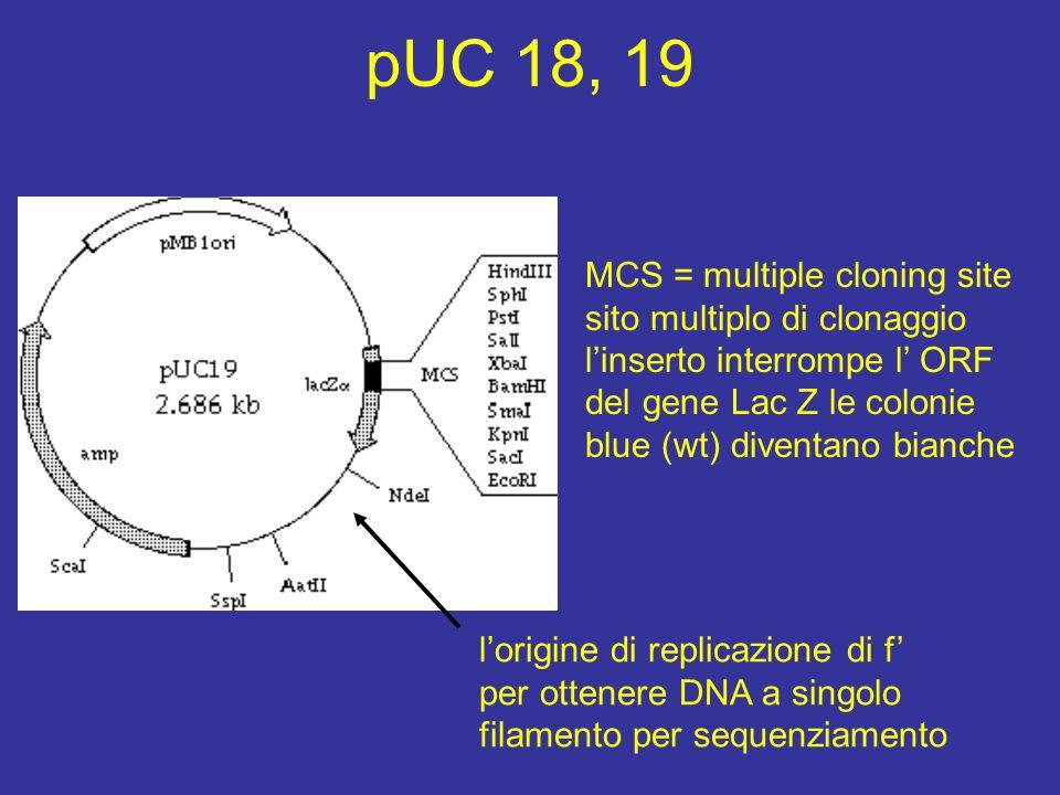pUC 18, 19 MCS = multiple cloning site sito multiplo di clonaggio l'inserto interrompe l' ORF del gene Lac Z le colonie blue (wt) diventano bianche l'origine di replicazione di f' per ottenere DNA a singolo filamento per sequenziamento