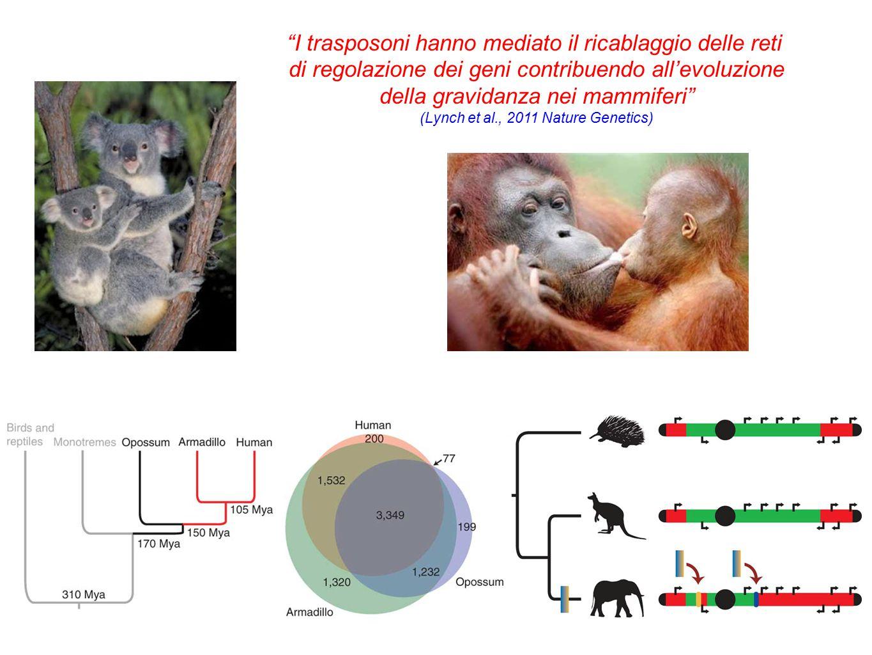 I trasposoni hanno mediato il ricablaggio delle reti di regolazione dei geni contribuendo all'evoluzione della gravidanza nei mammiferi (Lynch et al., 2011 Nature Genetics)