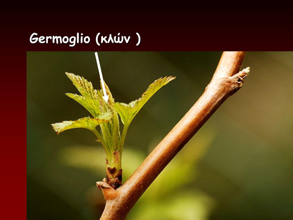 Germoglio (κλών) Germoglio (κλών )