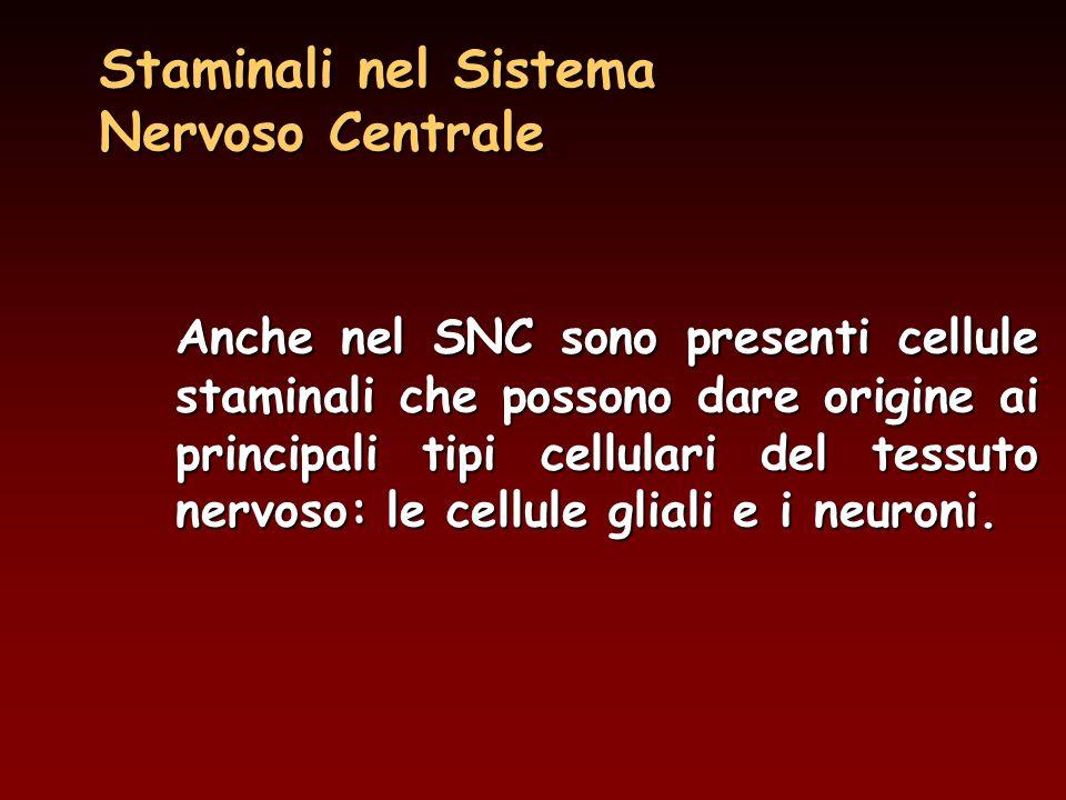 Anche nel SNC sono presenti cellule staminali che possono dare origine ai principali tipi cellulari del tessuto nervoso: le cellule gliali e i neuroni.