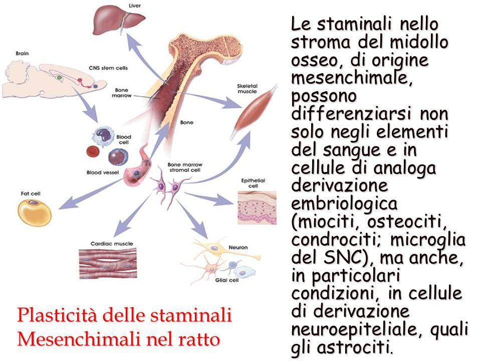Plasticità delle staminali Mesenchimali nel ratto Plasticità delle staminali Mesenchimali nel ratto Le staminali nello stroma del midollo osseo, di origine mesenchimale, possono differenziarsi non solo negli elementi del sangue e in cellule di analoga derivazione embriologica (miociti, osteociti, condrociti; microglia del SNC), ma anche, in particolari condizioni, in cellule di derivazione neuroepiteliale, quali gli astrociti.