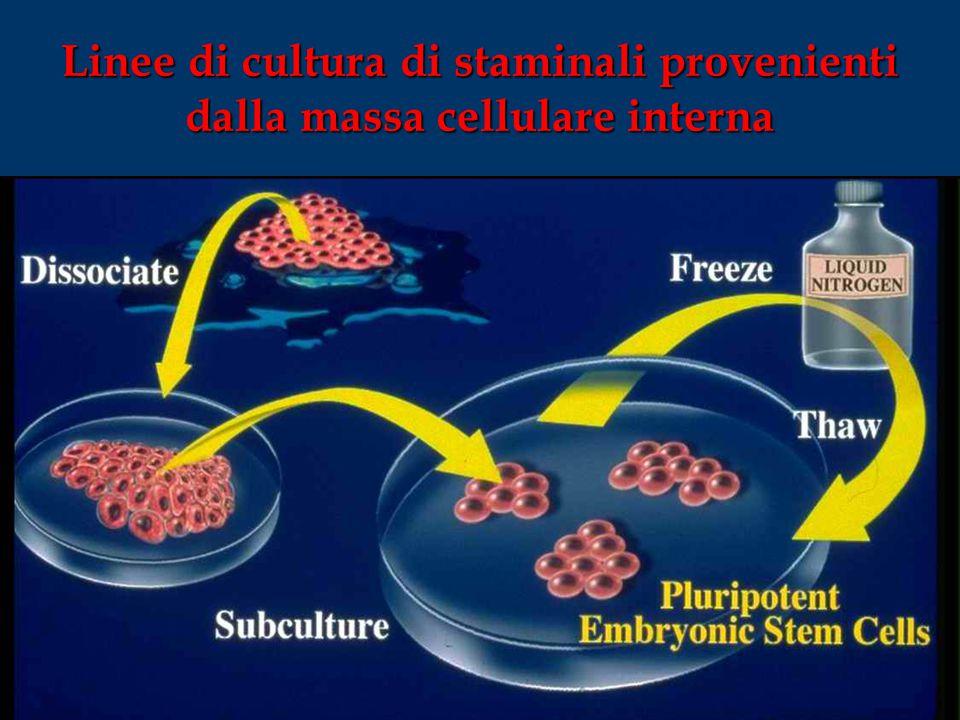 Linee di cultura di staminali provenienti dalla massa cellulare interna