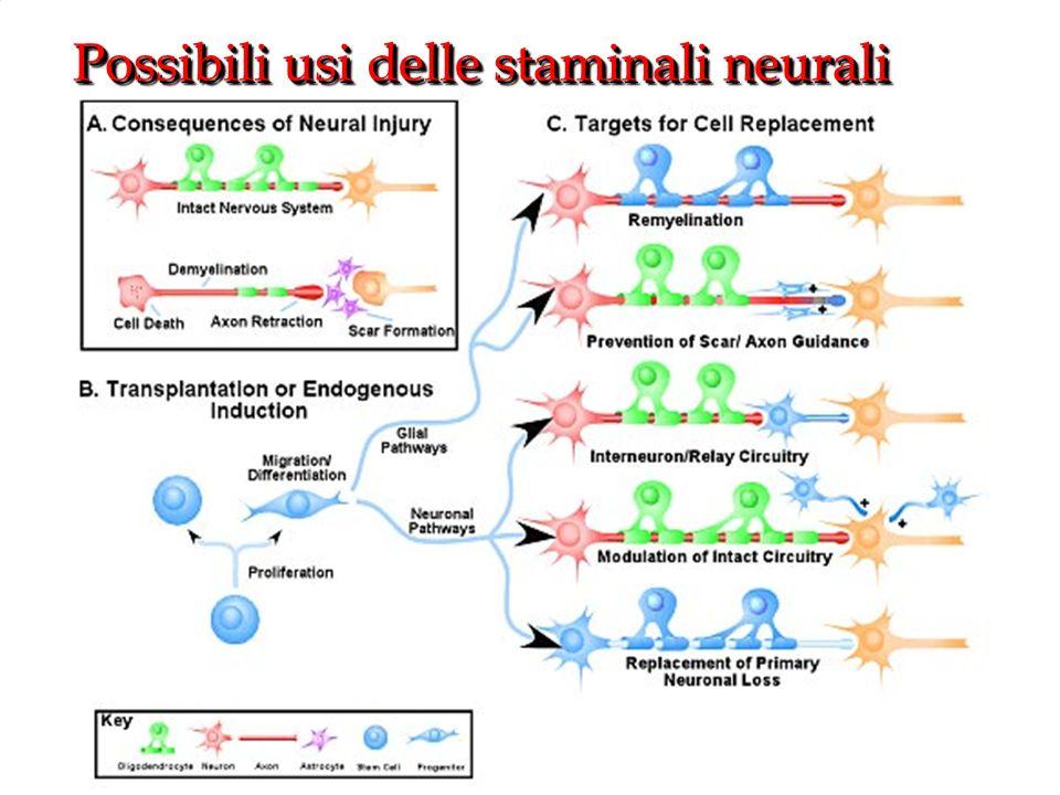 Possibili usi delle staminali neurali