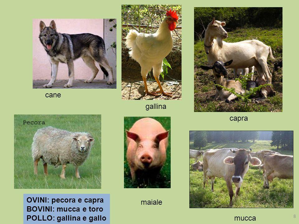 cane capra mucca OVINI: pecora e capra BOVINI: mucca e toro POLLO: gallina e gallo gallina maiale 8