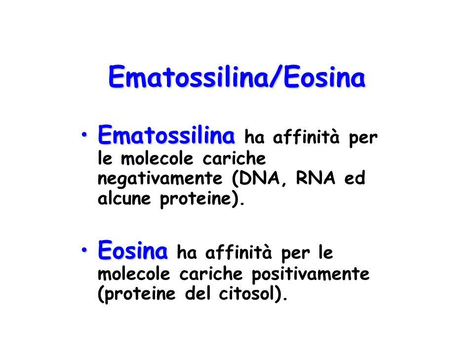 Ematossilina/Eosina EmatossilinaEmatossilina ha affinità per le molecole cariche negativamente (DNA, RNA ed alcune proteine). EosinaEosina ha affinità