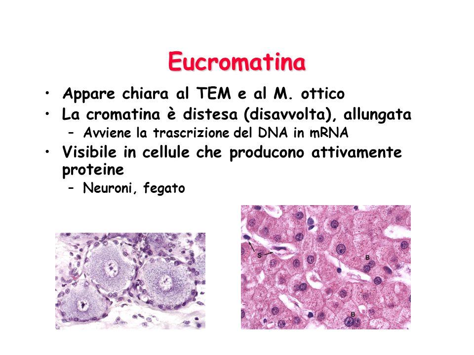 Nucleo interfasico come appare al T.E.M H= eterocromatina Nu =cromatina associata al nucleolo E= eucromatina