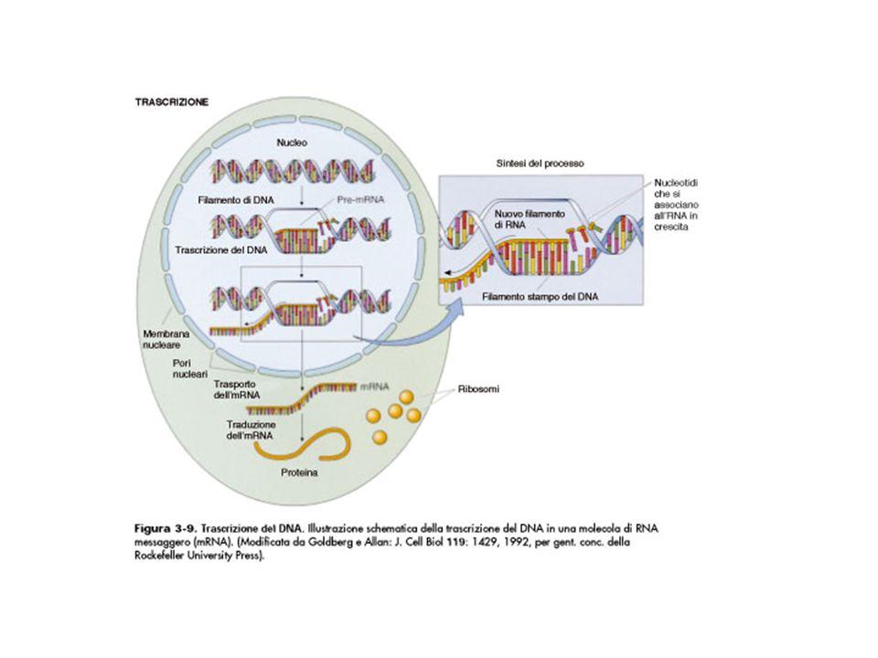 Eucromatina Appare chiara al TEM e al M.