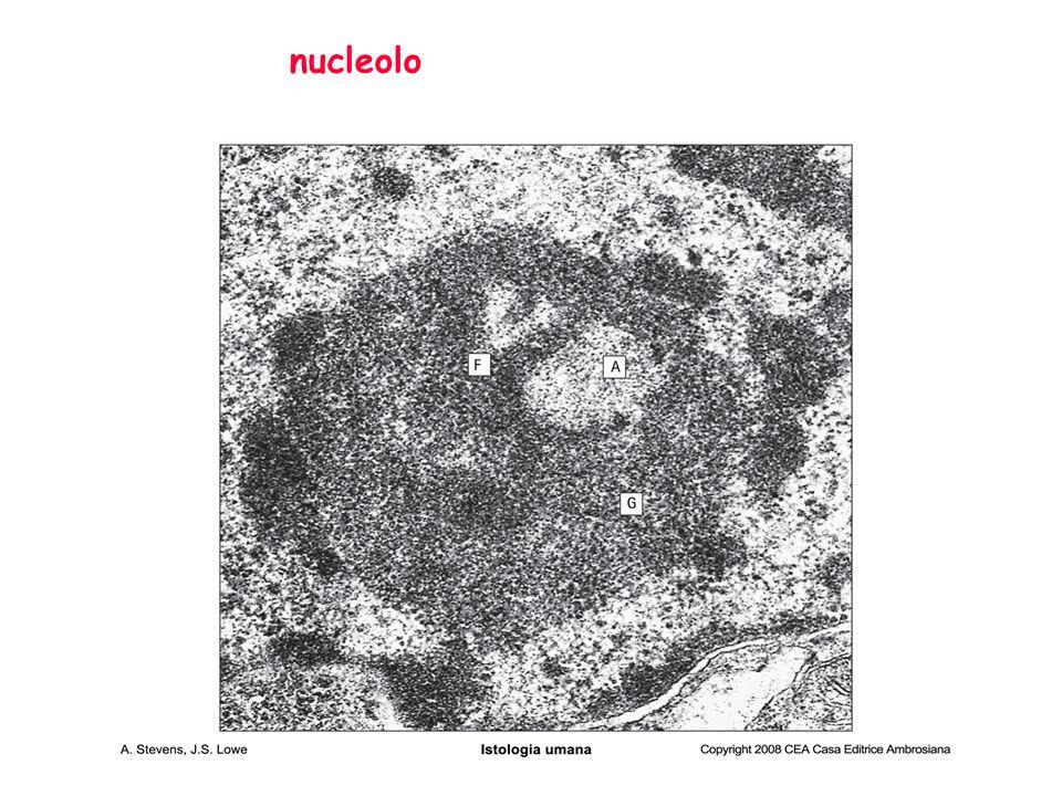 Nucleolo L' area (nucleare) per la sintesi di rRNA, formazione dei ribosomi Molto prominente in cellule che producono proteine in modo attivo, soprattutto per la secrezione