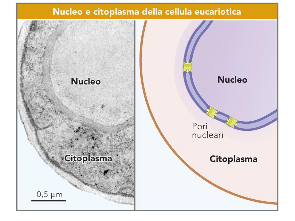 Cromatina DNA e proteine –Conferisce basofilia –proteine istoniche e non-istoniche EterocromatinaEterocromatina – cromatina inattiva EucromatinaEucromatina – cromatina attiva