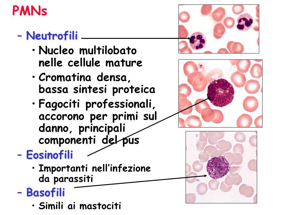 Nucleo multi-lobato formato per una divisione incompleta (poliploidia) MegacariocitaMegacariocita –Immediato precursore delle piastrine del sangue –30-100 micron di diametro
