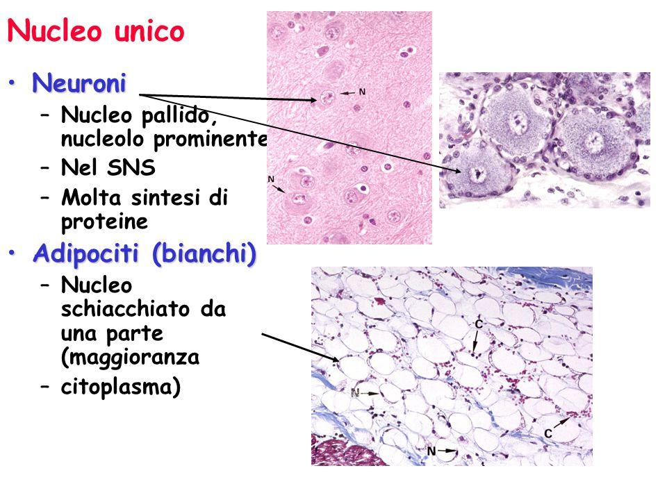 Nucleo unico aiuta ad identificare le cellule LinfocitiLinfociti –Globuli bianchi piu' piccoli –Nucleo denso rotondo –Poco citoplasma –Precursore delle plasma cellule che producono anticorpi –Monociti –Precursori dei macrofagi –Nucleo a ferro di cavallo (o a fagiolo)