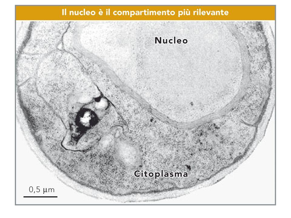 organello piu' grande Compartimento delimitato da una doppia membrana (involucro nucleare) che contiene il genoma della cellula eucariotica