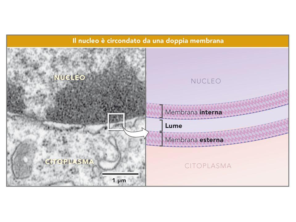 Nucleolo prominente, NeuroniNeuroni –Neurotrasmettitori Cellule del Sertoli nel testicoloCellule del Sertoli nel testicolo – cellule di supporto nella spermatogenesi Cellule acinose del pancreas esocrinoCellule acinose del pancreas esocrino –Secernono molte proteine (enzimi) digestivi