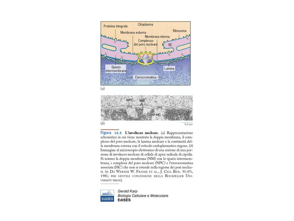 Muscolo scheletrico (o striato)