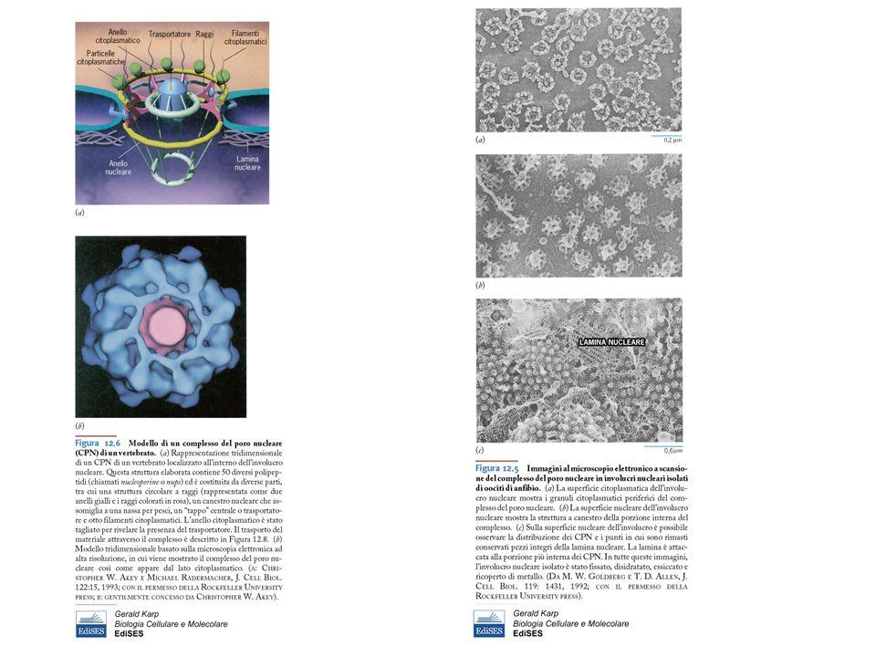 Cellule multinucleate si formano per una divisione incompleta (poliploidia) Alcuni epatocitiAlcuni epatociti –Cellule del fegato (binucleate) –Talvolta un nucleo con molti nucleoli –capace di andare in mitosi Alcuni epiteli di transizioneAlcuni epiteli di transizione vescica
