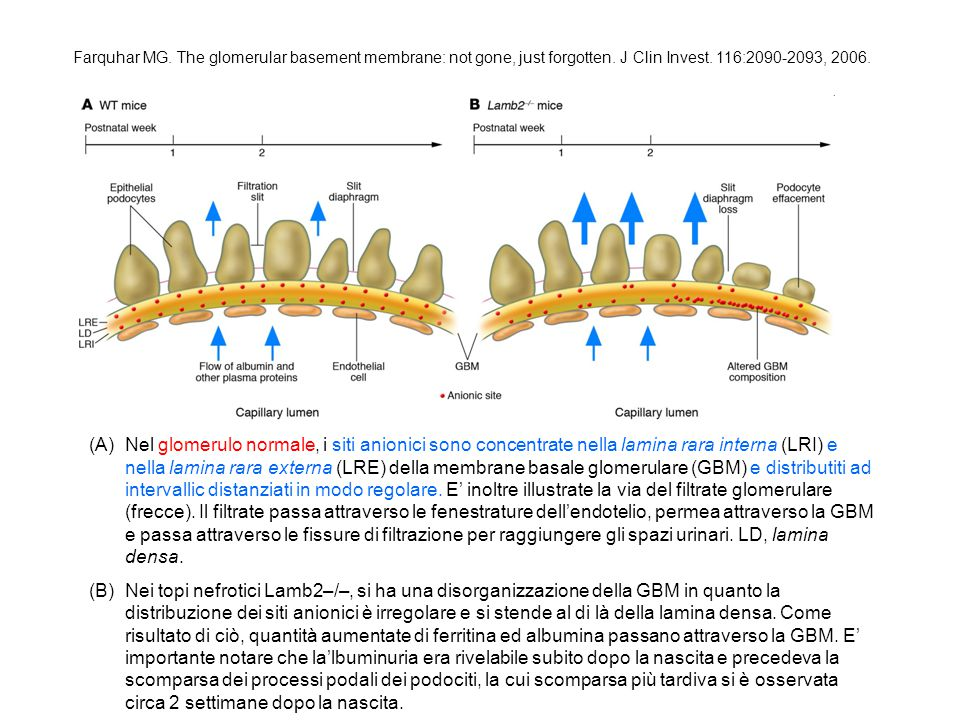 Farquhar MG. The glomerular basement membrane: not gone, just forgotten. J Clin Invest. 116:2090-2093, 2006. (A)Nel glomerulo normale, i siti anionici