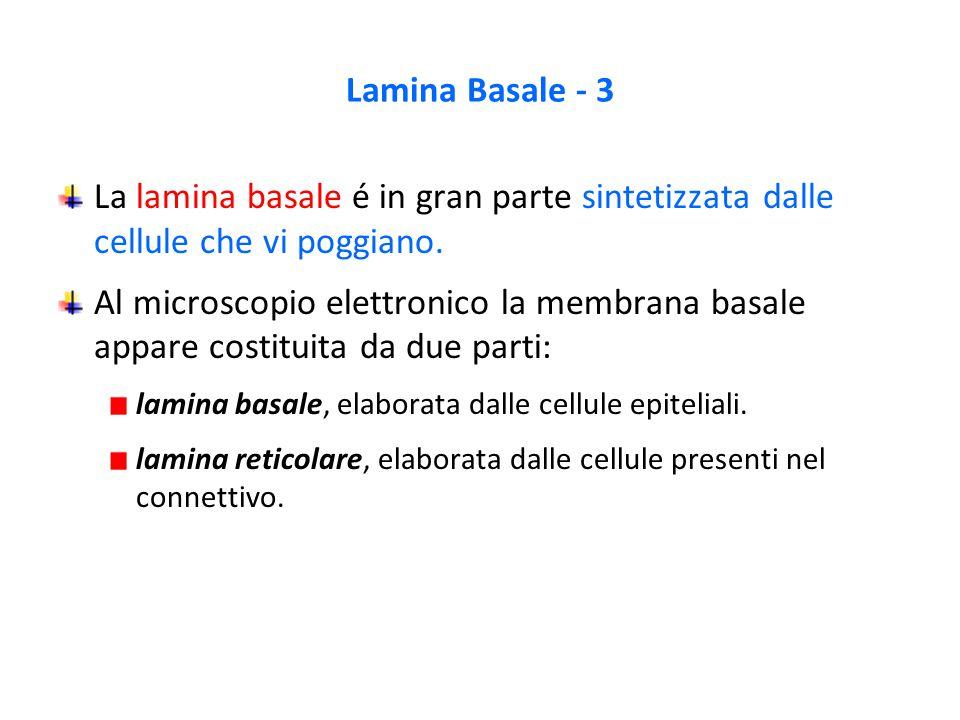 La lamina basale é in gran parte sintetizzata dalle cellule che vi poggiano. Al microscopio elettronico la membrana basale appare costituita da due pa