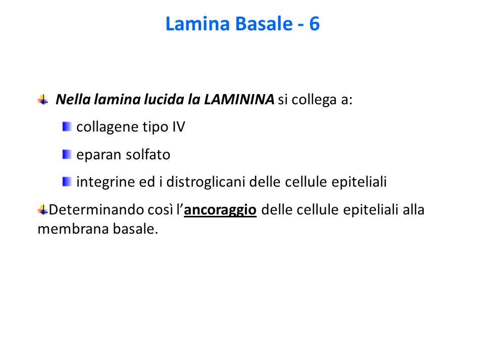 Lamina Basale - 6 Nella lamina lucida la LAMININA si collega a: collagene tipo IV eparan solfato integrine ed i distroglicani delle cellule epiteliali Determinando così l'ancoraggio delle cellule epiteliali alla membrana basale.
