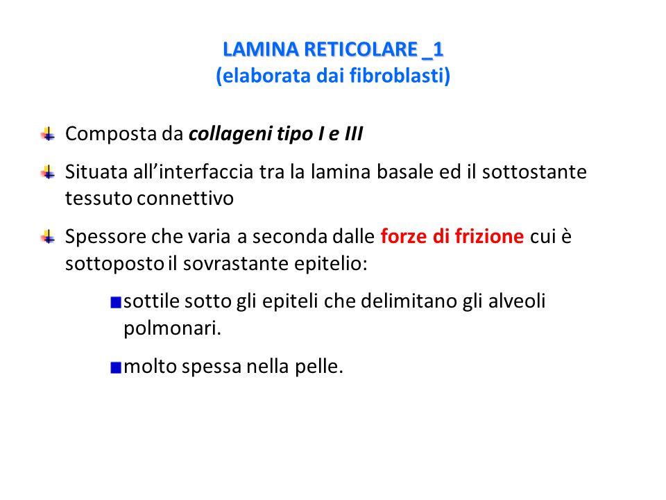 LAMINA RETICOLARE _1 LAMINA RETICOLARE _1 (elaborata dai fibroblasti) Composta da collageni tipo I e III Situata all'interfaccia tra la lamina basale