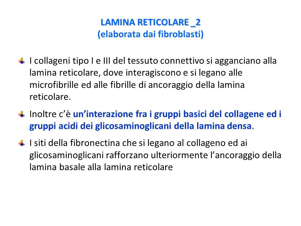 LAMINA RETICOLARE _2 LAMINA RETICOLARE _2 (elaborata dai fibroblasti) I collageni tipo I e III del tessuto connettivo si agganciano alla lamina reticolare, dove interagiscono e si legano alle microfibrille ed alle fibrille di ancoraggio della lamina reticolare.