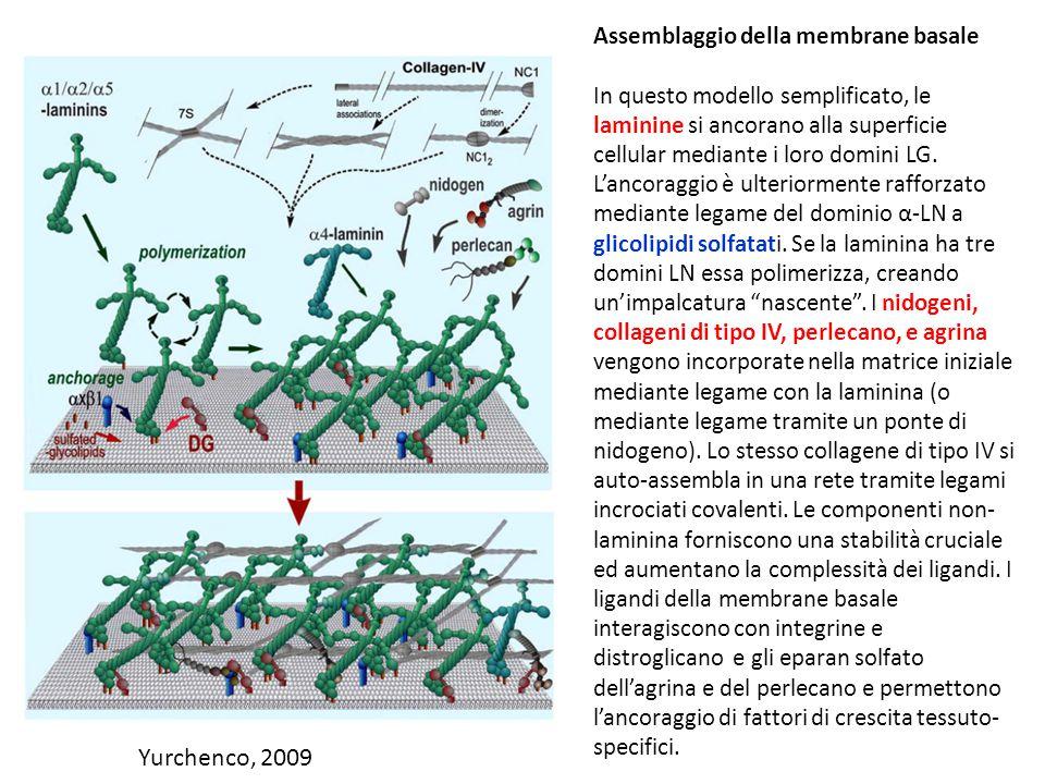 Yurchenco, 2009 Assemblaggio della membrane basale In questo modello semplificato, le laminine si ancorano alla superficie cellular mediante i loro do