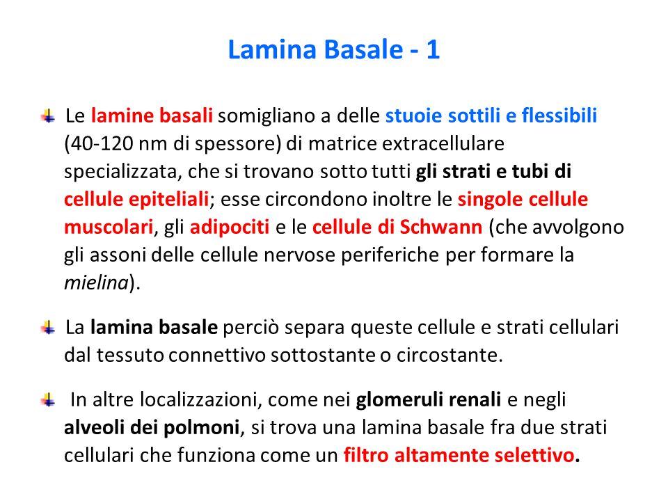 Lamina Basale - 1 Le lamine basali somigliano a delle stuoie sottili e flessibili (40-120 nm di spessore) di matrice extracellulare specializzata, che