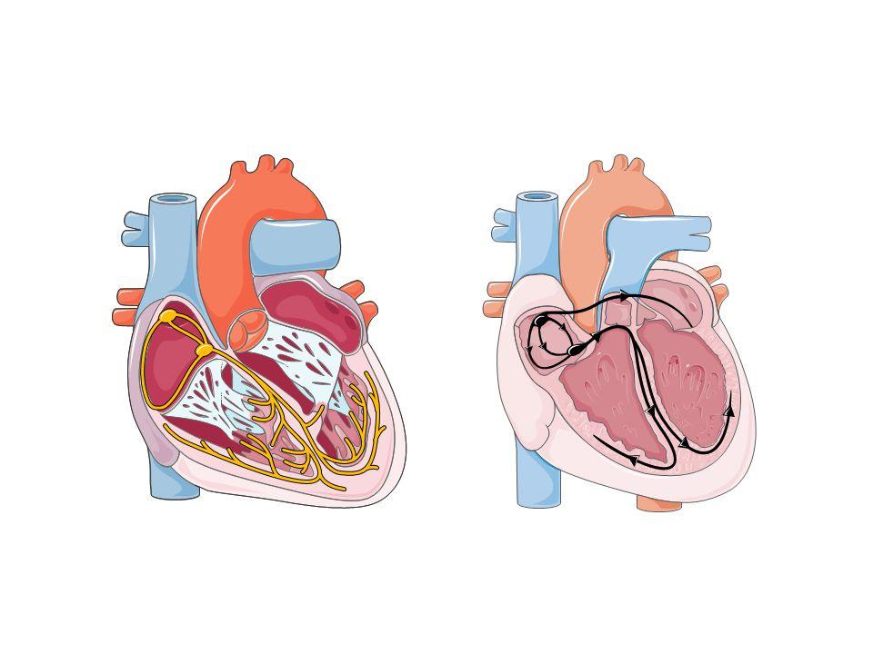 TESSUTO NODALE E DI CONDUZIONE (fibre miocardiche specializzate con proprietà di autoeccitabilità ritmica e conducibilità)