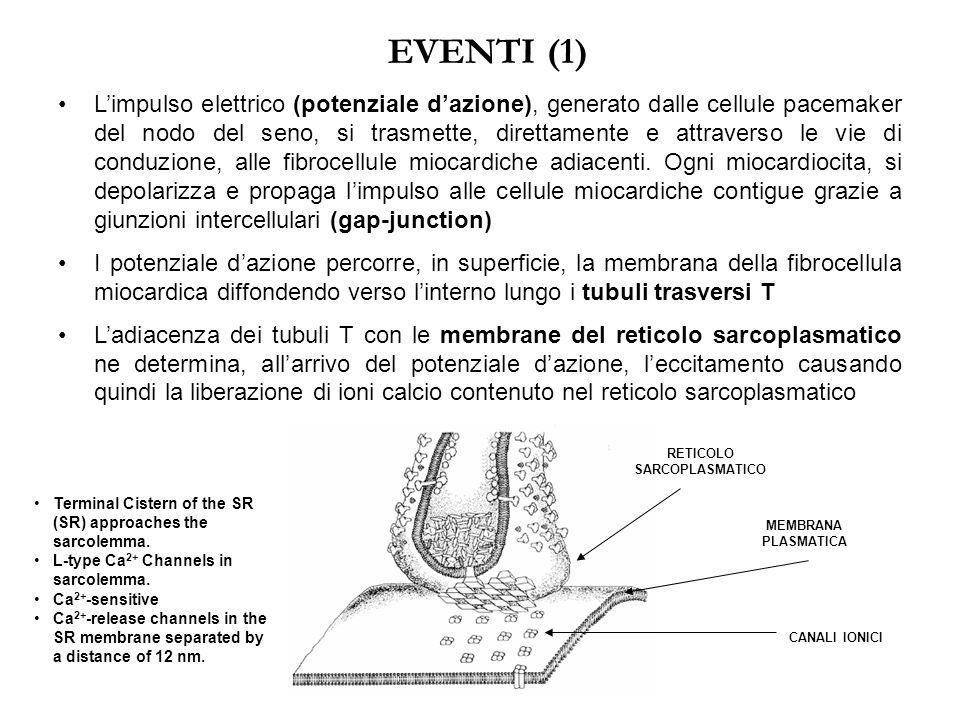 ATTIVITA' CONTRATTILE (2) Ogni cellula miocardica contiene, organizzati in sarcomeri, migliaia di filamenti sottili (actina) e migliaia di filamenti s