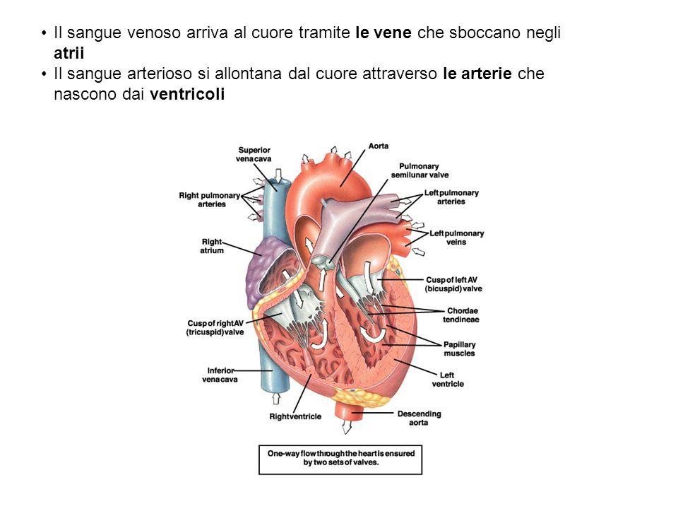 Il sangue venoso arriva al cuore tramite le vene che sboccano negli atrii Il sangue arterioso si allontana dal cuore attraverso le arterie che nascono dai ventricoli